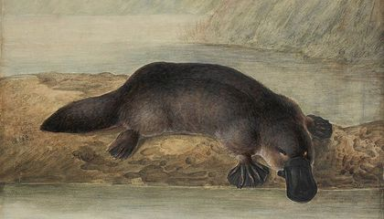 Australian Rivers Are Contaminated With Pharmaceuticals. That's Bad News For Platypuses, Study Says