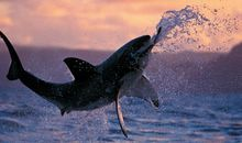 great white attacks a seal decoy