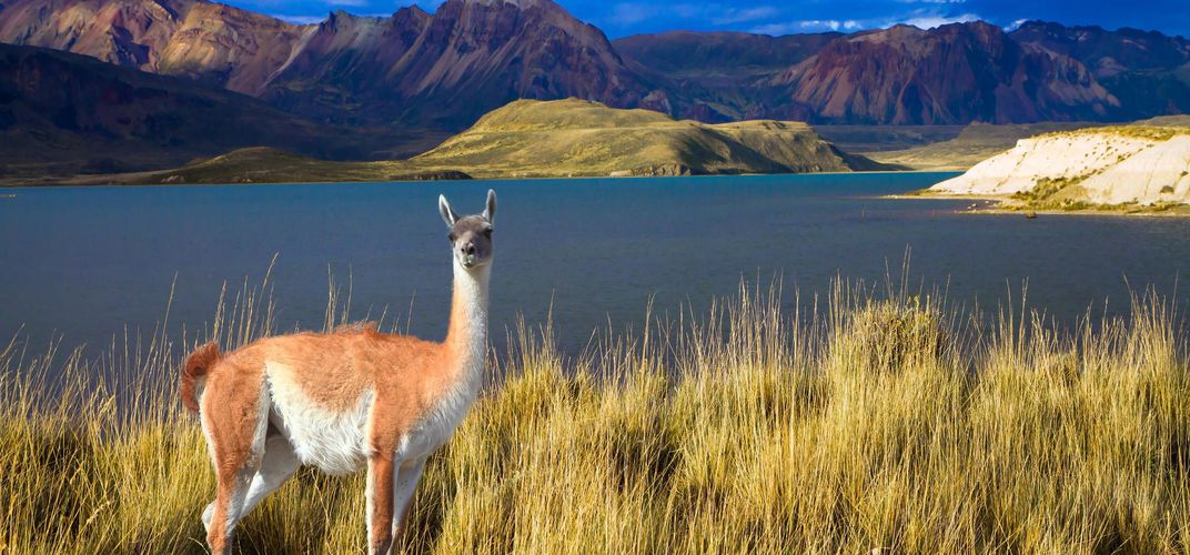 Guanaco in Los Glaciares National Park