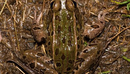 New Leopard Frog Found in New York City