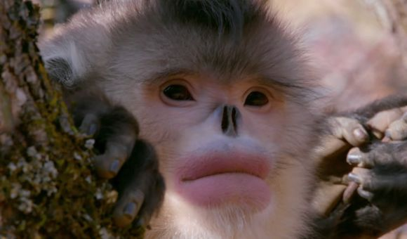 Preview thumbnail for video'How Snub-Nosed Monkeys Adapted to Extreme Cold