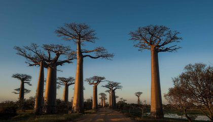 Something Is Killing Off Africa's Largest Baobab Trees