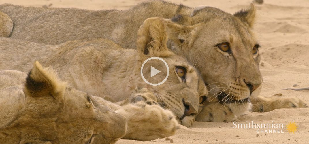 Caption: Lioness Withholds Food From Hungry Orphaned Cubs
