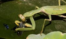 Praying Mantis Seen Hunting Fish for the First Time