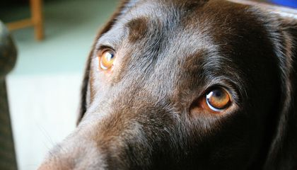 Dogs Evolved a Special Muscle That Lets Them Make 'Puppy Dog Eyes'