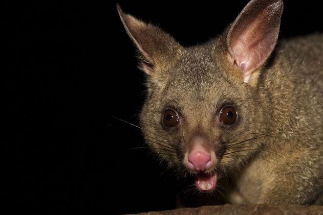 Brushtail Possum