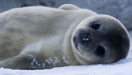 Baby Weddell Seal