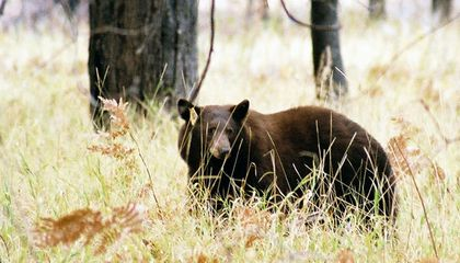 Now Everyone Can Track Yosemite's Bears Online
