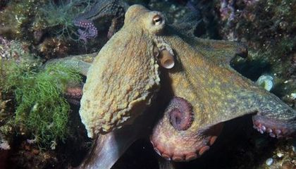Ten Curious Facts About Octopuses