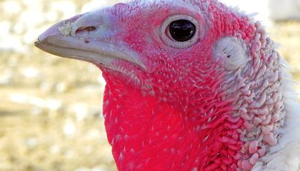 Turkeys Are Having a Pretty Bad Month