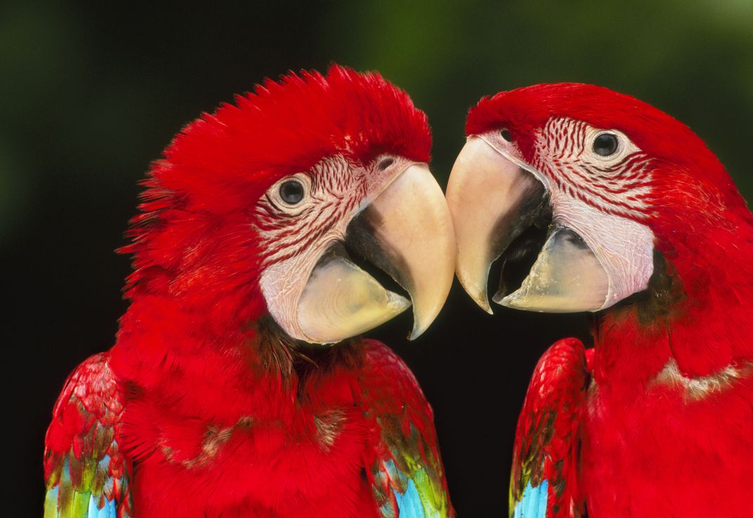 Macaws touching beaks in Manú National Park