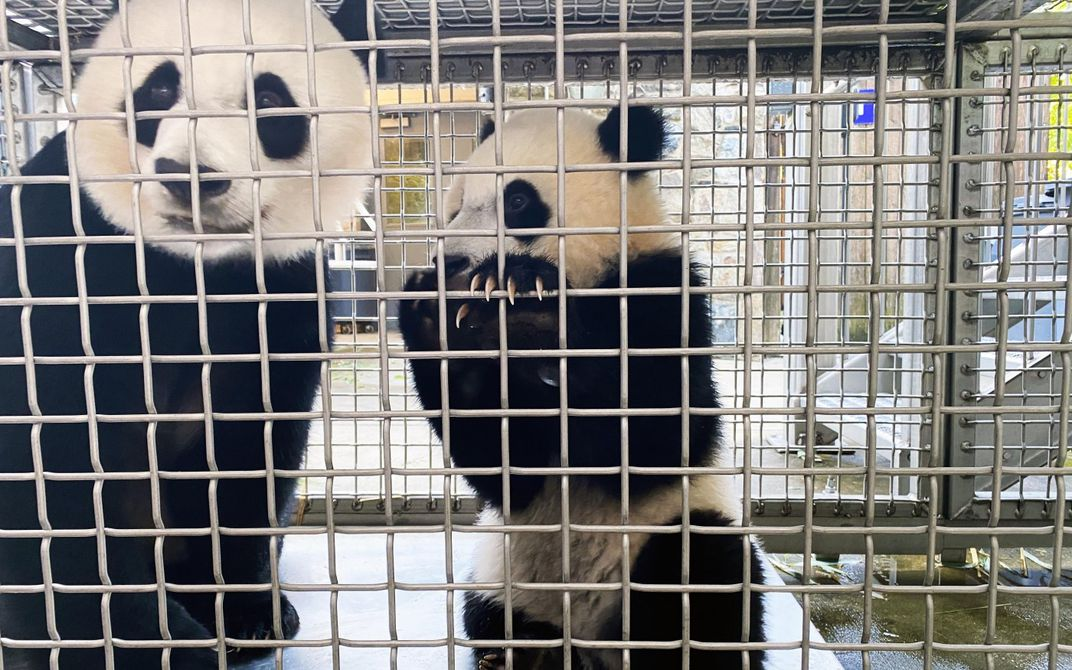 An adult giant panda and a giant panda cub stand side-by-side behind a mesh wire barrier. The cub has its paws up on the mesh