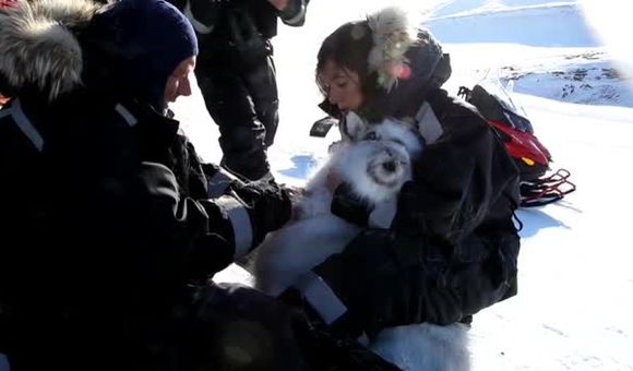 Preview thumbnail for video'How Scientists Are Tagging Reindeer to Track Climate Change