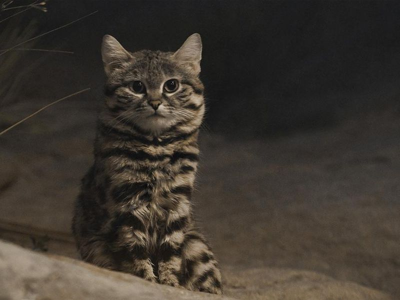 This Petite Cat Is the World's Deadliest. Mini-Series 'Super Cats' Shows You Why