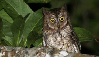 Meet Indonesia's New Owl Species