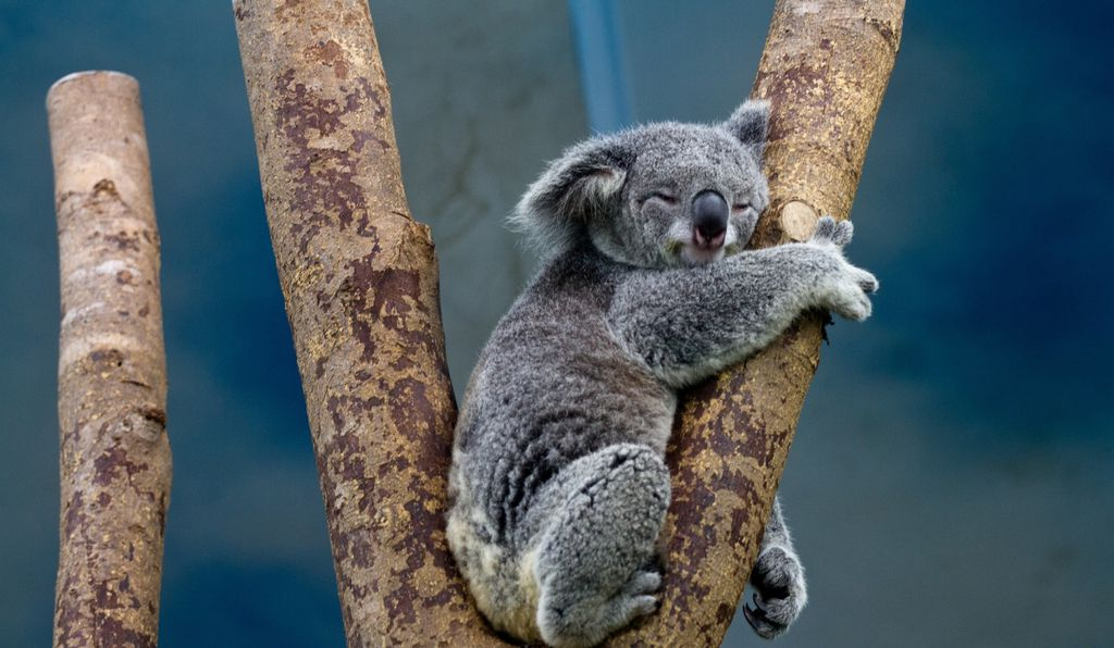 Sequencing the complete koala genome has allowed scientists to study how koala retrovirus is invading this species in real time.
