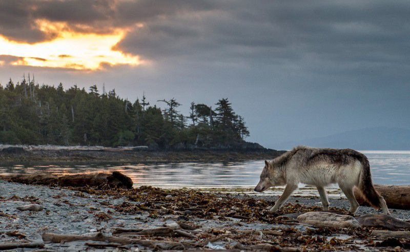 In The 20th Century Humans Exterminated Gray Wolf Population Of British Columbias Vancouver Island Largest On West Coast North