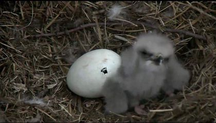 Watch a Baby Bald Eagle Hatch in Real Time