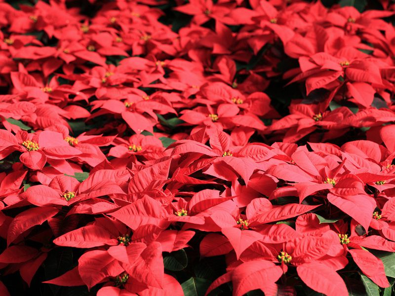 how america s most popular potted plant captured christmas arts