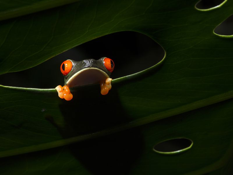A frog climb to a hole in the leaf