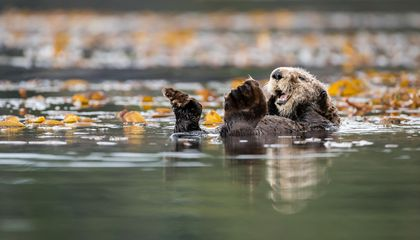 Bringing Back Sea Otters Benefits People, Too