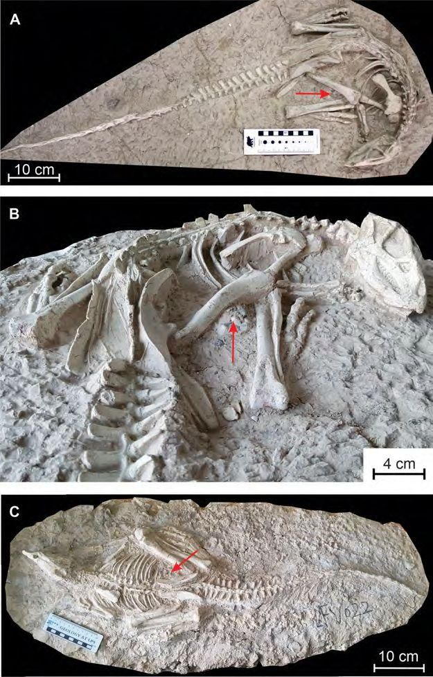 2 Changmiania liaoningensis fossils