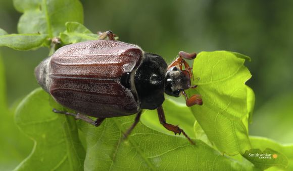 Preview thumbnail for video'Why Beetles Are Such an Evolutionary Success