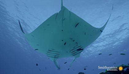 Manta Rays Use Tiny Fish to Help Them Stay Clean