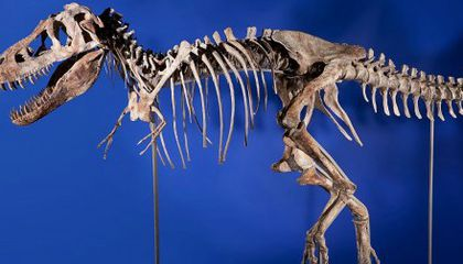 Fate of Auctioned Tarbosaurus Yet to be Determined