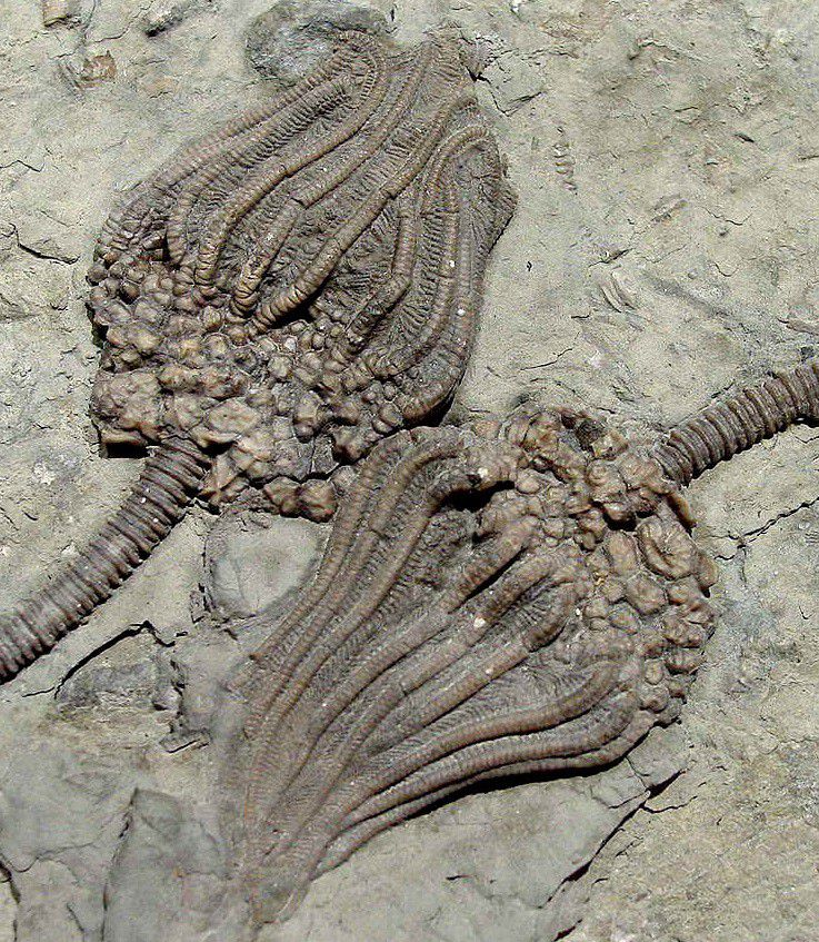 Fossil crinoids side by side in rock.