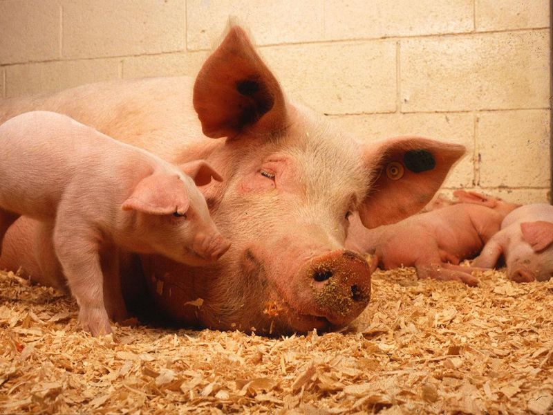 Domesticated pigs