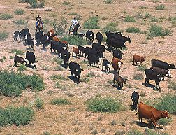 20110520090022cattle-herding_courtesy-usda_smaller.jpg