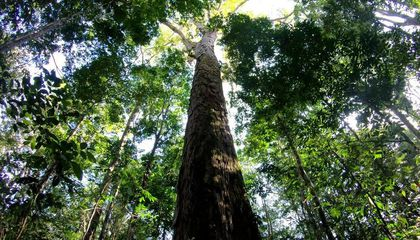 Researchers Discover the Tallest Known Tree in the Amazon