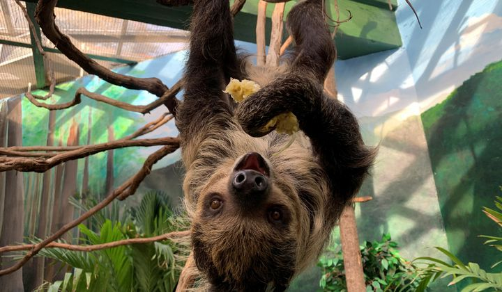 National Zoo Hopes Love Blooms Between Two Sloths