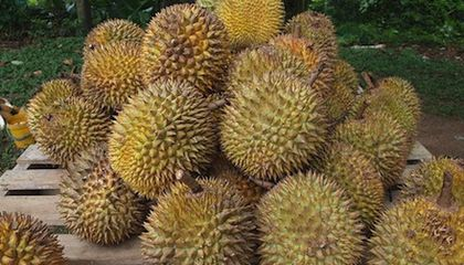 Why Does the Durian Fruit Smell So Terrible?