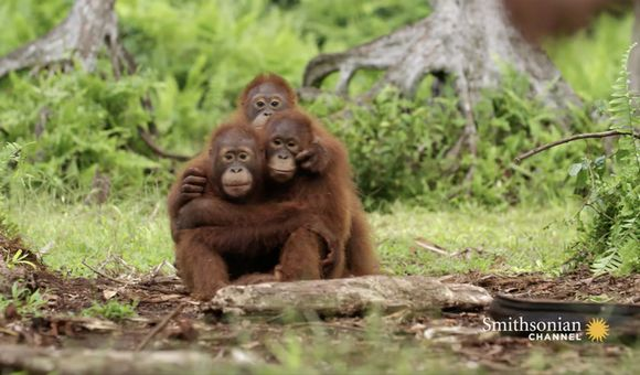 Preview thumbnail for video'Orangutans Need to Learn to Fear Snakes