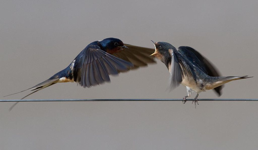 One of the species linked to elevated imidacloprid concentrations, adult Barn swallow (<em>Hirundo rustica</em>) feed their fledged young and subsist on an insect-only diet.