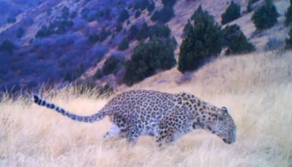 Spot the Ultra-Rare Caucasian Leopard in Armenia's Caucasus Wildlife Refuge