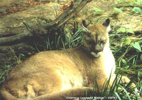 A photo of an eastern cougar, date unknown.