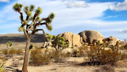 In 'a Huge Victory,' California's Joshua Tree Becomes the First Plant Protected Due to Climate Change