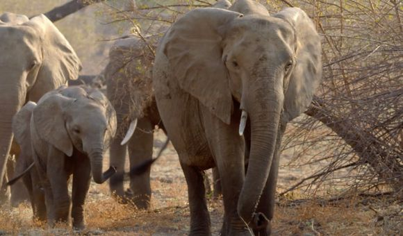Preview thumbnail for video'How Adult Elephants Help Feed Younger Herd Members