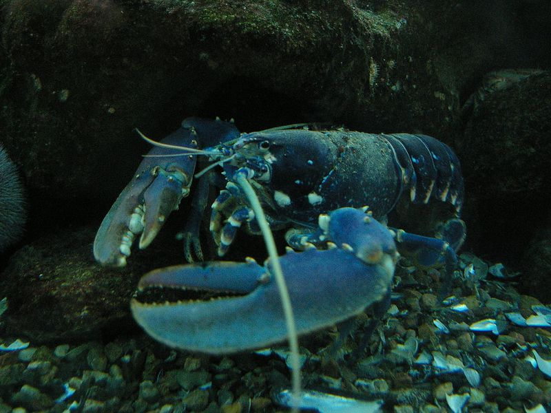 Don't Listen to the Buzz: Lobsters Aren't Actually Immortal | Science | Smithsonian
