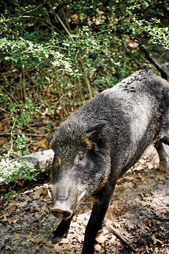 Being Fairly Intelligent Wild Hogs Quickly Learn From Their Mistakes Says John Mayer Over Time These Hogs Can Develop Into As Wild And Stealthy An