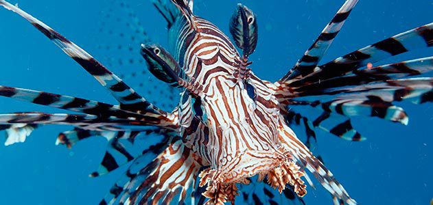 Lion Fish **4 Colors to choose from* Hand Painted Realistic Coral Reef Tropical