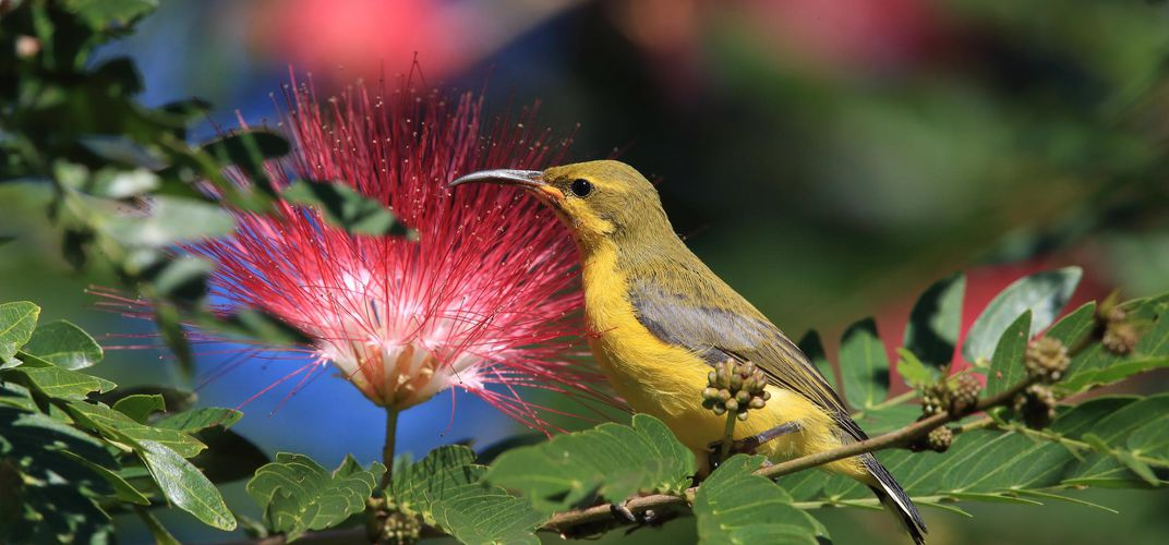 An Olive-backed Sunbird, Daintree Rainforest