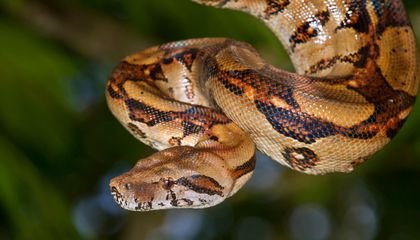 Boa Constrictors Kill By Stopping Blood Circulation