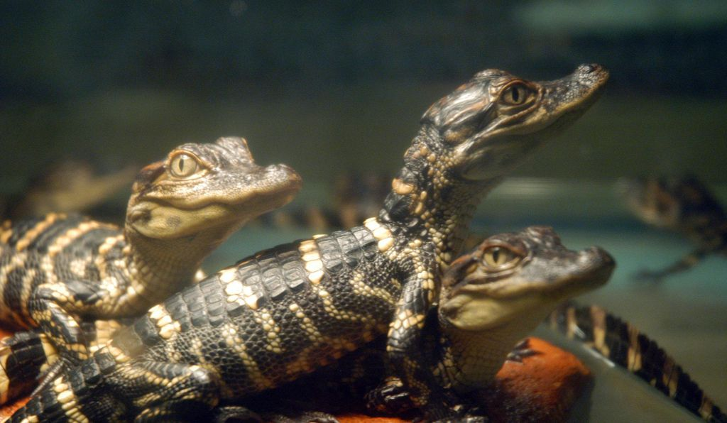 Young alligators are targeted by other predators, so they need a tail to make it through their most vulnerable years.