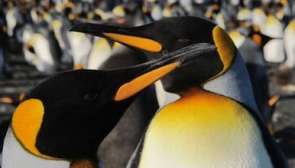 King Penguins Stressed Out By Scientists And Tourists