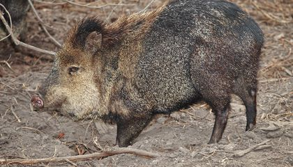Do Not Take the Javelina Lightly