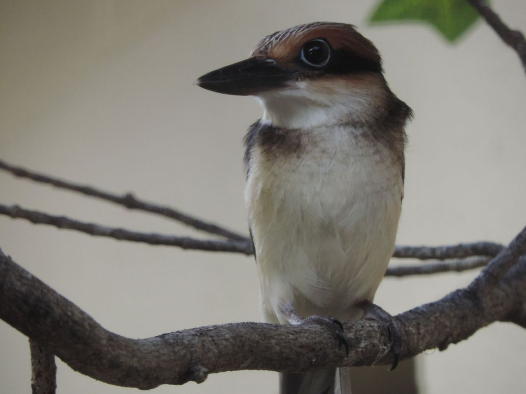 A 50-day-old female Guam kingfisher with colorful feathers, round eyes and a large bill perched on a tree branch.